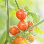 はじめての家庭菜園は育てやすい野菜から栽培を始めよう