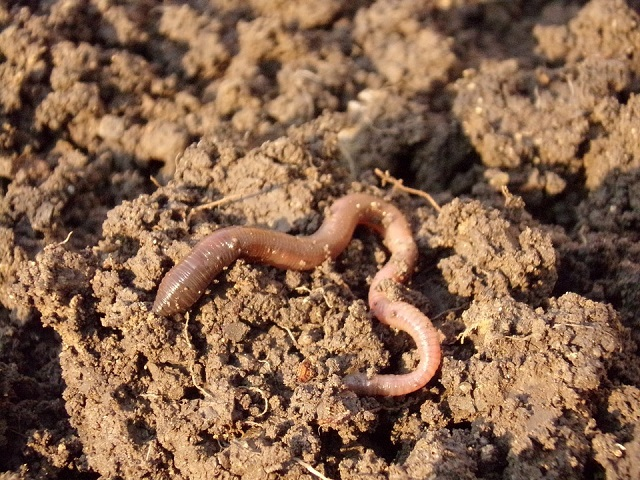 loamsoil-earthworm