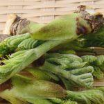 タラの芽の食べ方と効能|整腸作用に高血圧や滋養強壮に