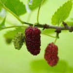 桑の葉茶の作り方と効果|クワの実も疲労回復や血液サラサラ効果